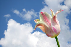 Pink-white tulip Stock Photography