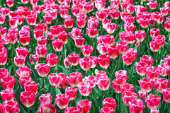Pink white tulip garden in spring background or pattern Royalty Free Stock Images