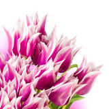 Pink and white tulips. Beautiful pink and white tulips on white background Stock Photography