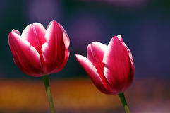 Pink and white tulips. Two dark pink tulips with white edges against a dark blue background Royalty Free Stock Images