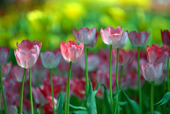 Pink and white tulips. Royalty Free Stock Photography