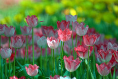 Pink and white tulips. Stock Images