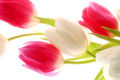 Pink and white tulips Royalty Free Stock Images