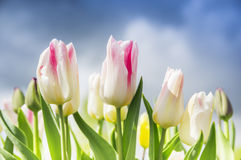 Pink white tulips on background overcast spring sky Stock Photos