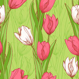 Pink and white tulips Stock Images