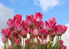 Pink and white tulips bright under a blue cloud studded sky Stock Photos