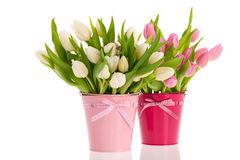 Pink and white tulips in buckets Stock Image