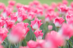 Pink and white tulips Royalty Free Stock Photography