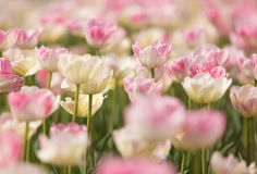 Pink and white tulips Stock Image