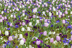 Pink and white tulips field in spring season stock images
