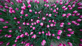 Pink and white tulips in a field Royalty Free Stock Images