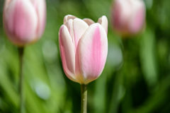 Pink and White Tulips Stock Photography