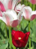 White and Pink Tulips with  Red Tulip stock photography