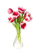 Pink and white tulips Royalty Free Stock Image