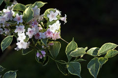 Pink and White Variegated Weigela  Stock Photography