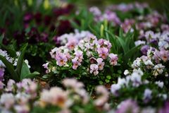 Pink and white violas after the rain. Pink and white violas in early spring Stock Photos