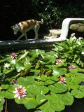 Pink and white water lilies. The dog walks next to the flowers. Floriculture and Gardening stock photos