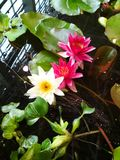 Water lilies on water royalty free stock images