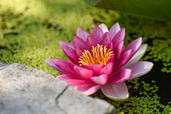 Pink and White Water Lily Stock Image