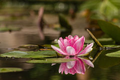 Pink and white water lily Stock Photography