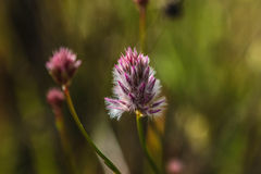Pink and white wild flower West Australia Royalty Free Stock Photography