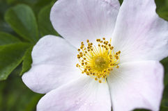 Pink-white wild rose flower. A macro shot of pink - white blossoming wild rose flower - eglantine (sweet briar) with green leaves and yellow stamens in spring Royalty Free Stock Photo