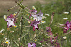 Pink and white Winged Tobacco flowers Stock Images