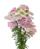 Pink  and white yarrow Royalty Free Stock Photography