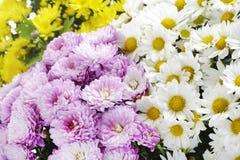 Pink, white and yellow chrysanthemums Stock Image
