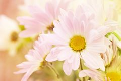 A flower saying hello. A pink, white and yellow daisy with a beige blurred background on the left for copy space Royalty Free Stock Image