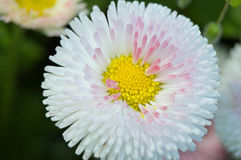 Pink, white and yellow flower. White flower with pink accents and yellow center Royalty Free Stock Photo