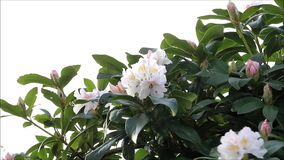 Pink white yellow flowers blooming. Rhododendron stock video