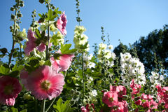 Pink White and Yellow Hollyhock stock image