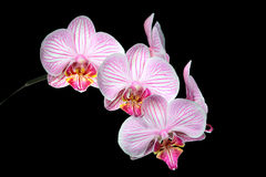 Pink White and Yellow Orchids. On a Black Background Stock Photo