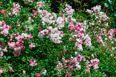 Pink and whitte roses. Pink and white roses bush Stock Photos