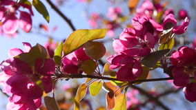 Pink wild apple blossoms stock footage