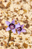 Pink wild bellflower on grainy sand Stock Photography