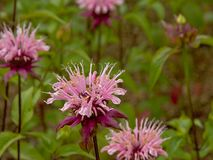 Pink wild bergamot flowers, close up - Monarda fistulosa. Close-up of Bright pink wild bergamot flowers, selective focus - Monarda fistulosa stock photo
