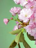 Pink wild cherry blossom on green Stock Photos