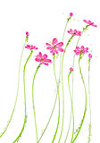 Pink wild flower Royalty Free Stock Image