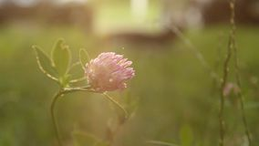 Pink wild flower bud on green grass sways from the wind in spring on a blurred background close-up. nature with weeds in. Macro stock video footage