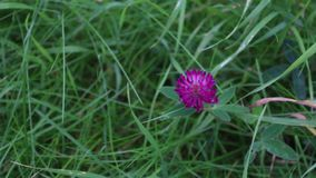 Pink wild flower clover among green grass at summer day stock video footage
