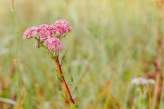 Pink wild flower, consisting of many inflorescences on the background of a green meadow stock photography