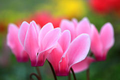 Pink wild flower in garden, Chiang Mai, Thailand Royalty Free Stock Photography