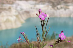Pink wild flower in the mountains Stock Photography