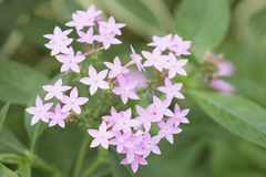 Pink wild flower in nature. Royalty Free Stock Photo