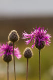 Pink wild flowers Stock Images