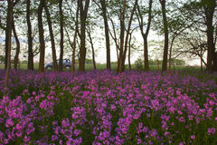 Pink wild flowers and forest Stock Photography