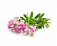 Pink wild flowers isolated Royalty Free Stock Photography