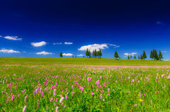 Pink wild flowers in a meadow scenery Royalty Free Stock Image